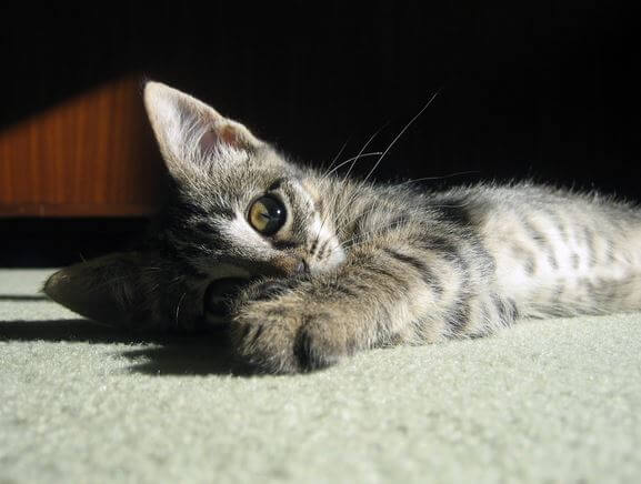 Cat Scratching Carpet Srs Carpet Vidalondon